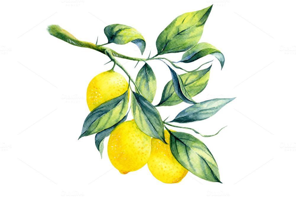 Watercolor Lemon Branch Illustrations 2 Drawing Aquarelle