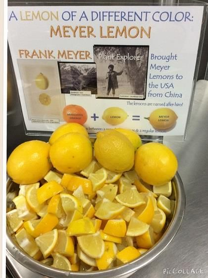Students are tasting Meyer Lemons in the elementary schools at Coppell ISD  (TX).