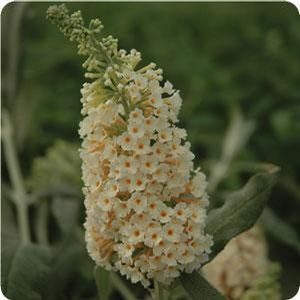 Buddleia, Flutterby, Grande Vanilla Butterfly. Beautiful cream colored flowers supported by silver gray foliage. This bush is fragrant and grows upright. Very heat and drought tolerant. Flutterby Grande series is the world's only complete series of sterile Buddleia. 4'-6'