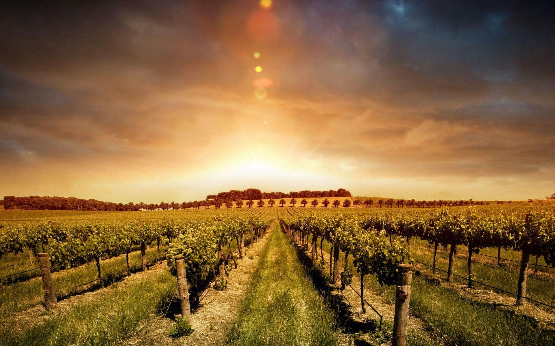 Agricultura Vinhas Vindimas Agriculture Uvas Grape Vinho