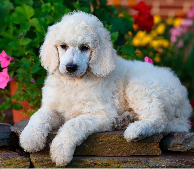 250 Best Poodle Names