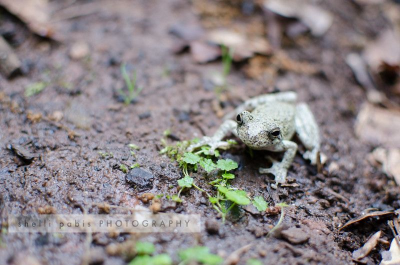 Nature Watch: Cope's Tree Frog
