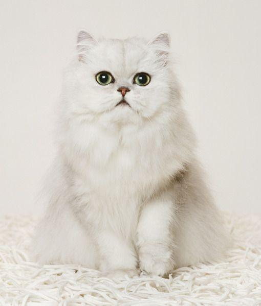 Most Popular Cat Breeds Cat Breeds Most Popular Cat Breeds