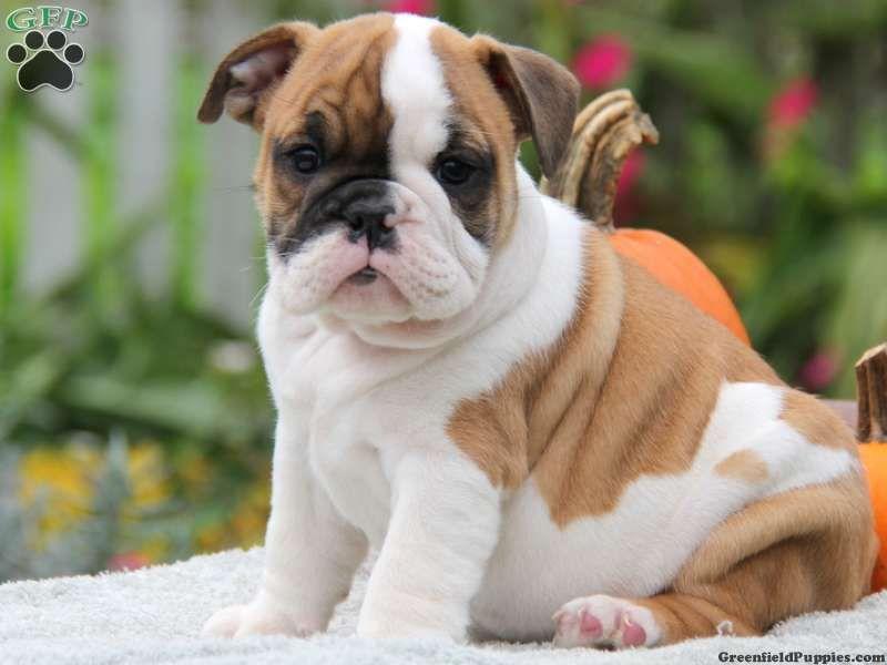 Afton English Bulldog Puppy For Sale In New Holland Pa Bulldog