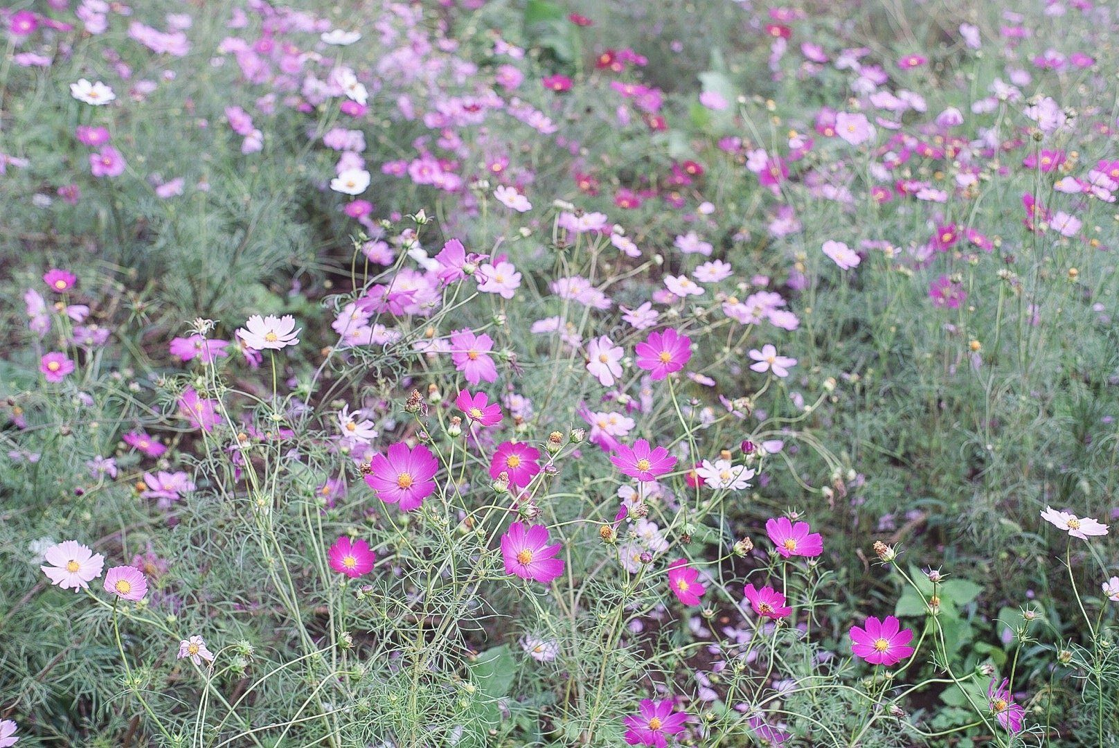 Japan S Seasons In Photos October Harvest And Cosmos Flowers Matcha Japan Travel Web Magazine October Is The Cosmos Flowers Matcha Japan Flower Festival