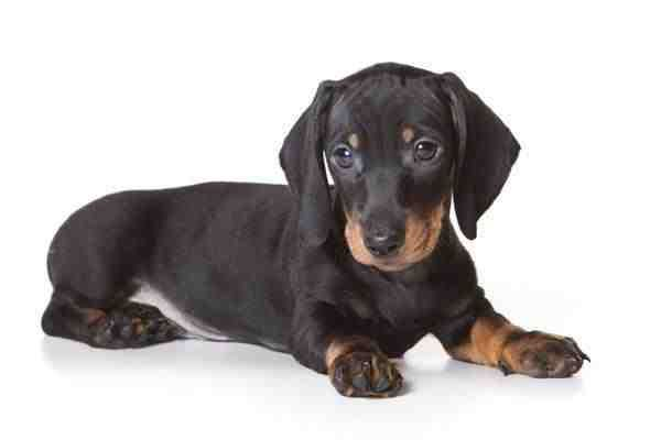 Little Black And Brown Short Haired Sausage Dog Dachshund