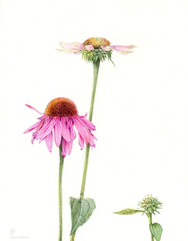 Stephanie Law Botanical Art Botanical Art Botanical Painting Botanical Drawings