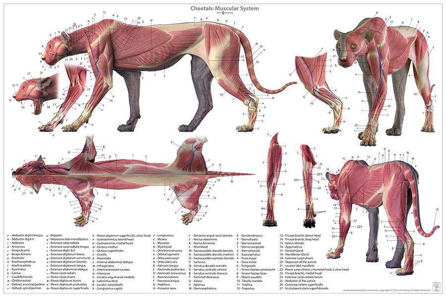 Cheetah Anatomy Chart | Pinterest