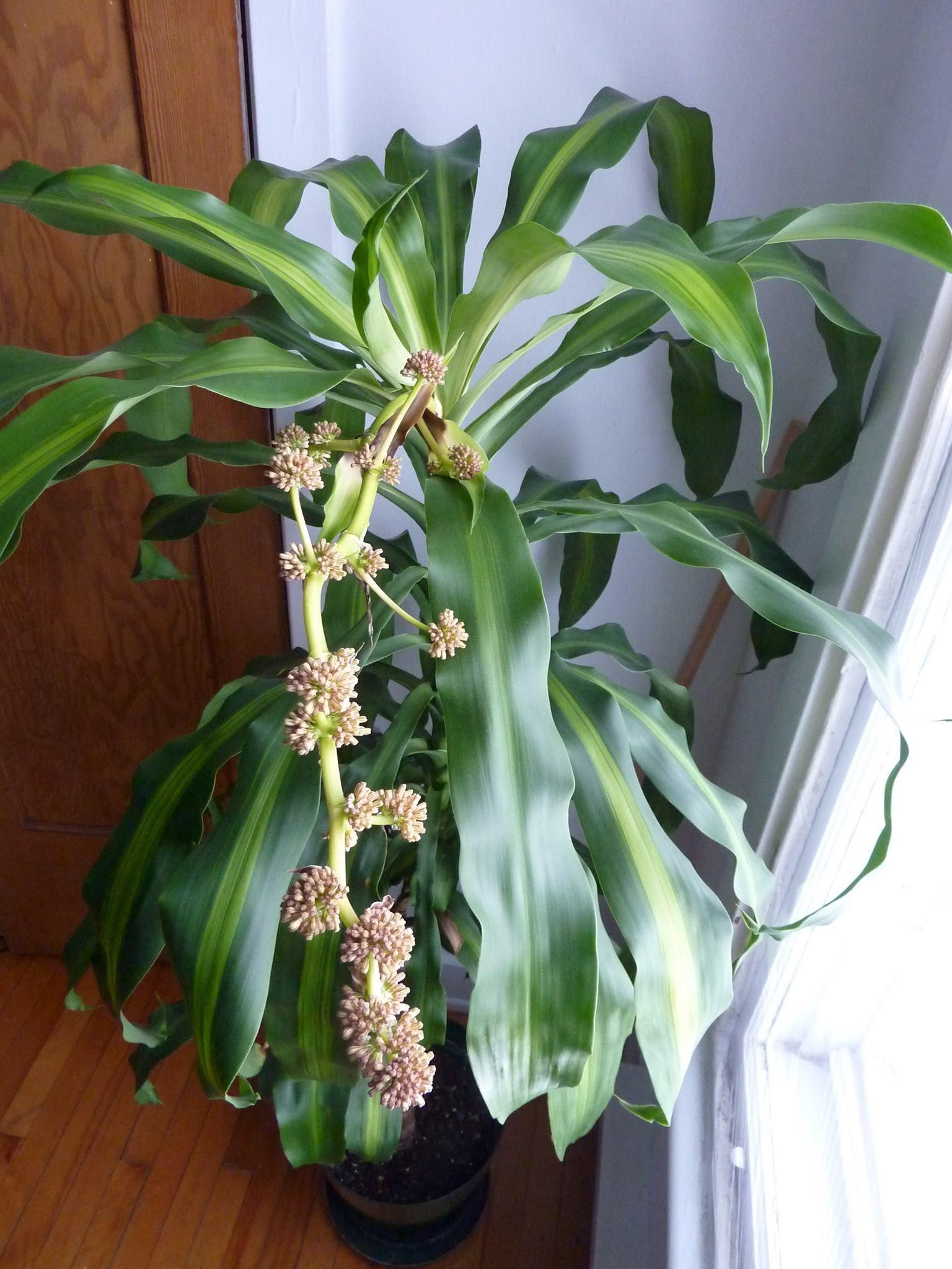 When A Corn Plant Blooms Avec Images Plante Dracaena Fleurs