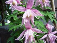 Powojnik Botaniczny W Odmianach Clematis Sp Clematis Blue Bird Plants