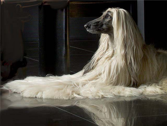 Afghan Hound Kennel Vechnost Afghan Hound Dog Breeds Beautiful