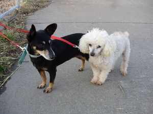 Adopt Beth Sugar On Petfinder Poodle Mix Dogs Miniature Pinscher Dog Mini Pinscher