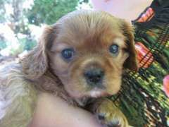 Cavalier King Charles Puppies Puppies For Sale Fumina Sth Victoria Ca Cavalier King Charles Spaniel King Charles Cavalier Spaniel Puppy King Charles Puppy