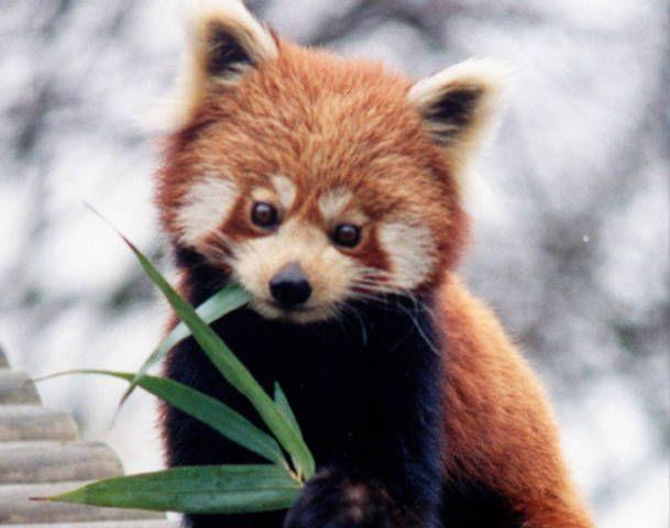 cute red panda   Red Panda   Pinterest   Beautiful, There and ...