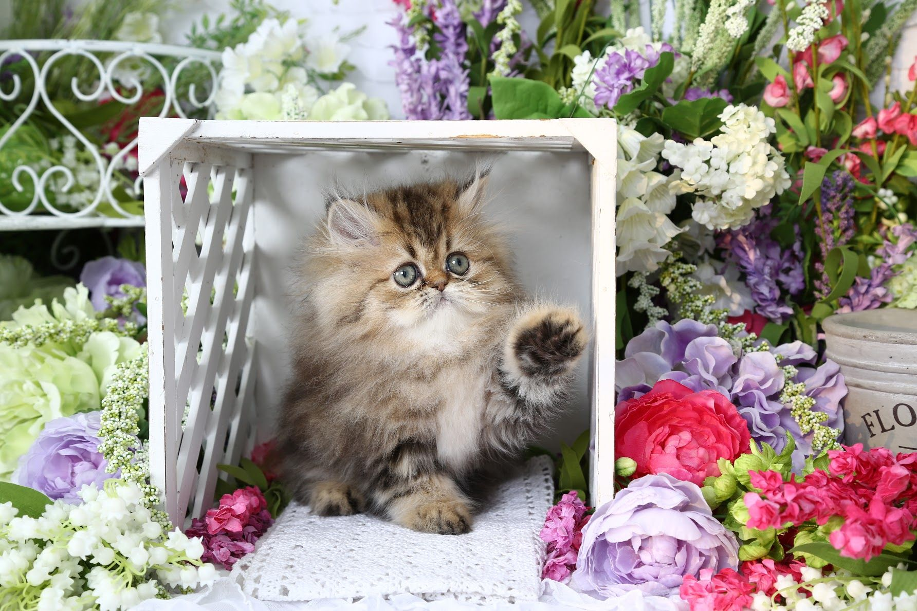 Aubree Click Here (With images) Persian kittens for