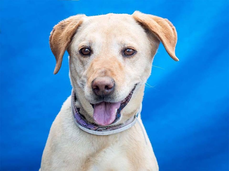 Labrador Retriever dog for Adoption in Pasadena, CA. ADN