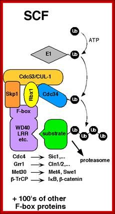 Cell cycle regulation   Cell cycle, Biology worksheet
