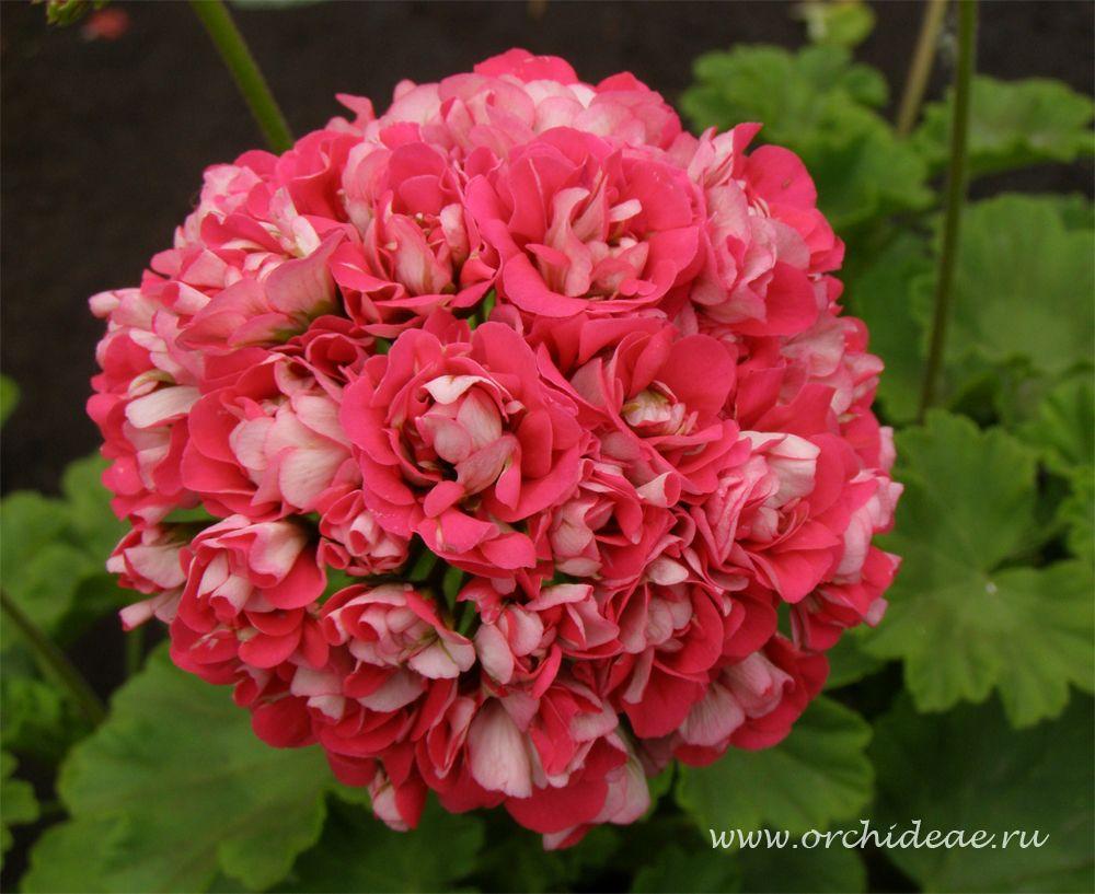 пеларгония rosebud supreme фото