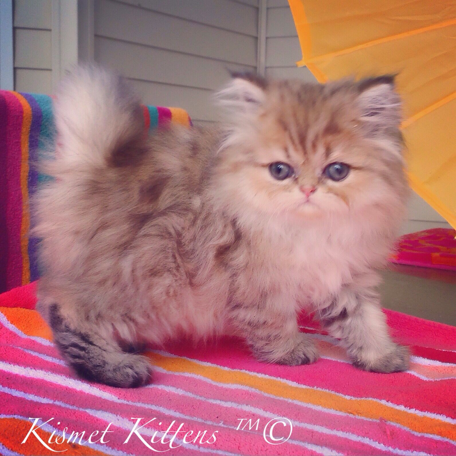 ❤️Kismet Kittens For Golden Chinchilla Shaded Doll Face Persian