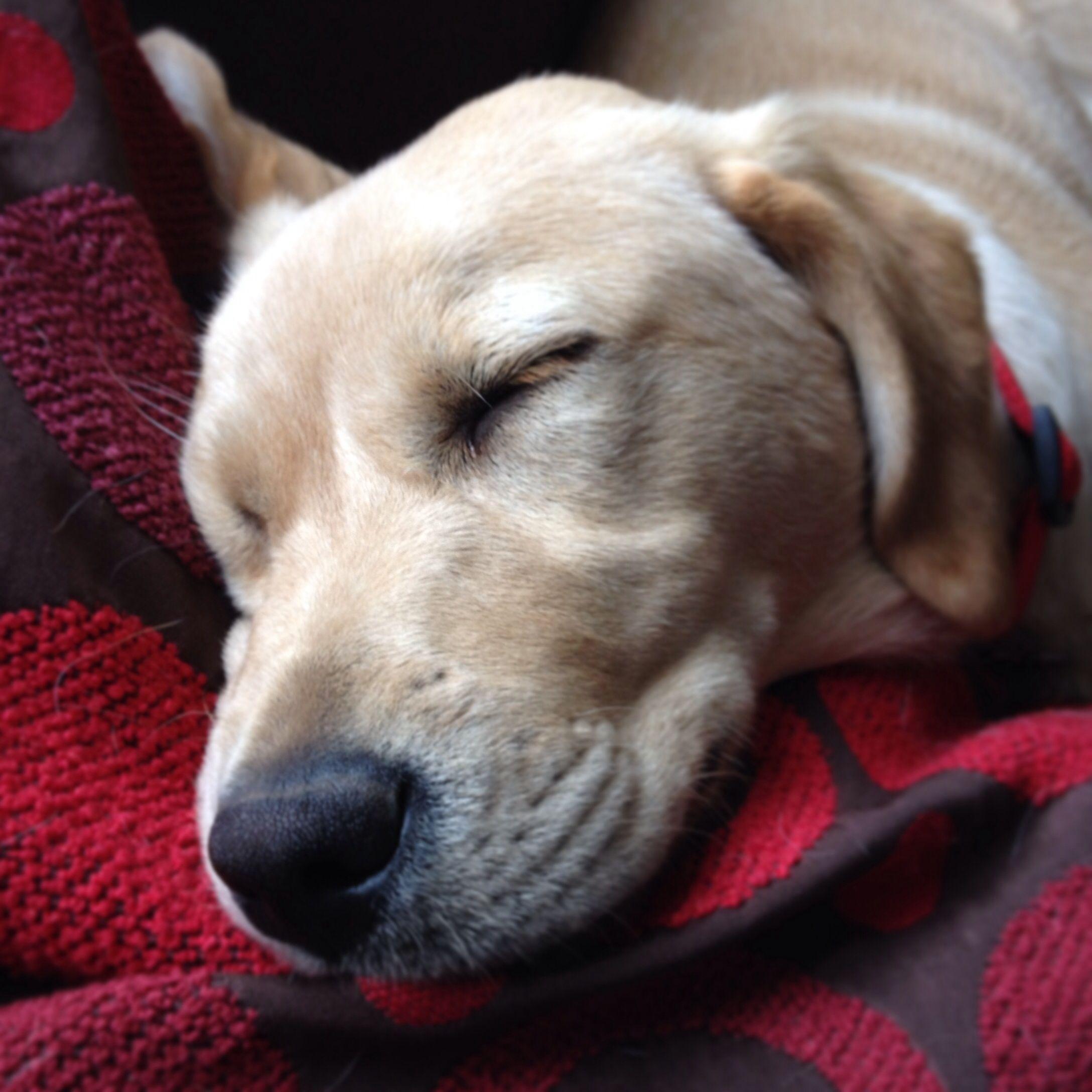 Sleepy Labrador retriever, Labrador, Dogs