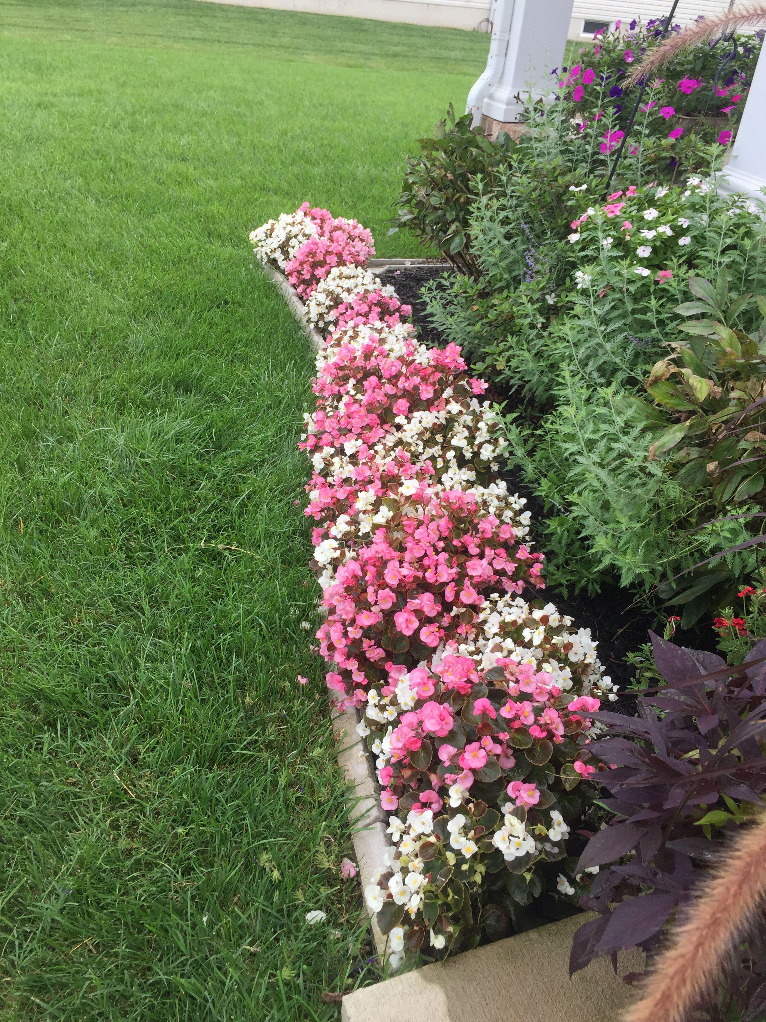 White and pink begonia garden edge. August garden