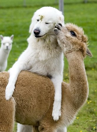 Clarence the cattle dog is just showing this baby Alpaca a little love.