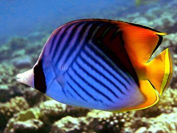 """Fische (Pisces) (von lateinisch piscis """"Fisch"""") sind ..."""
