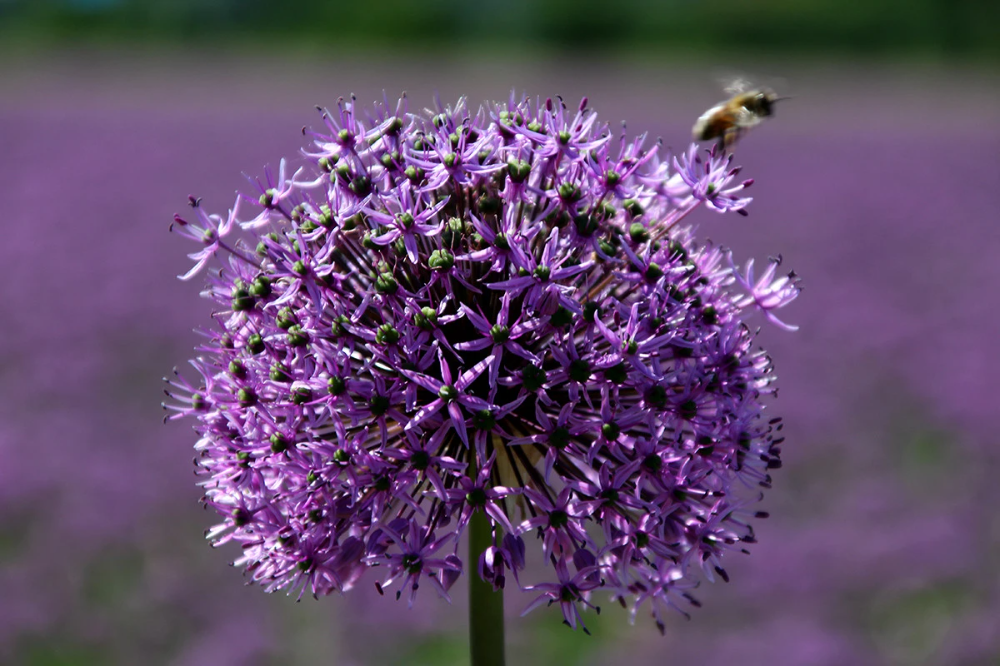 Alliums All About Allium Bulbs In 2020 Partial Shade Plants Allium Flowers Ground Cover Plants