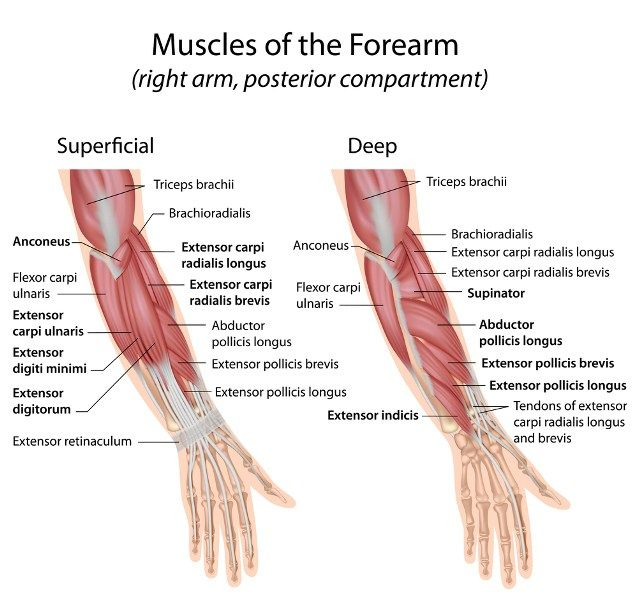 Extensor Muscles Of Hand And Forearm Anatomy Pinterest Tennis