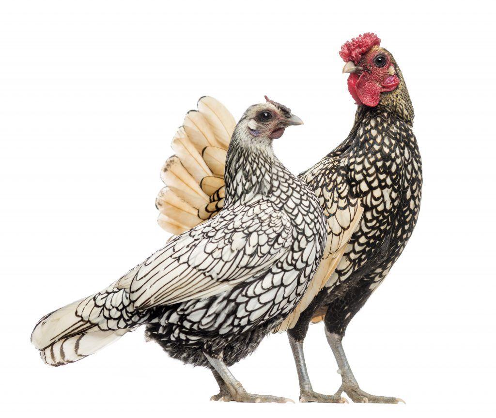 La Gallina Sebright Es Una Pequeña Raza De Origen Inglés Y Que Precisamente Obedece Su Nombre A Sir John Saunder Aves De Corral Gallinas Animales De La Granja