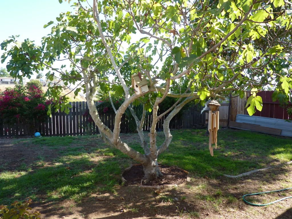Pruning Fig Trees