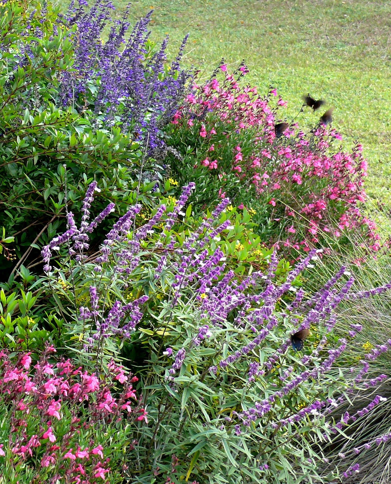 Salvia Are Beautiful Native Plants In Texas Along Bear Springs