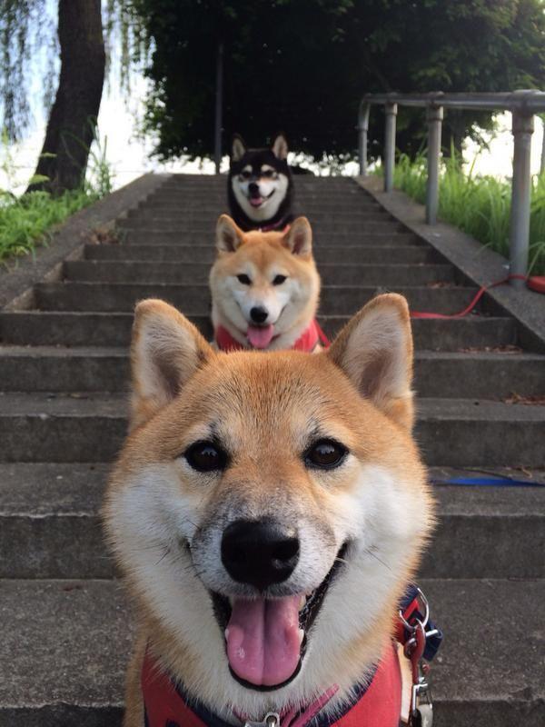 Twitter/柴犬、黒柴♪
