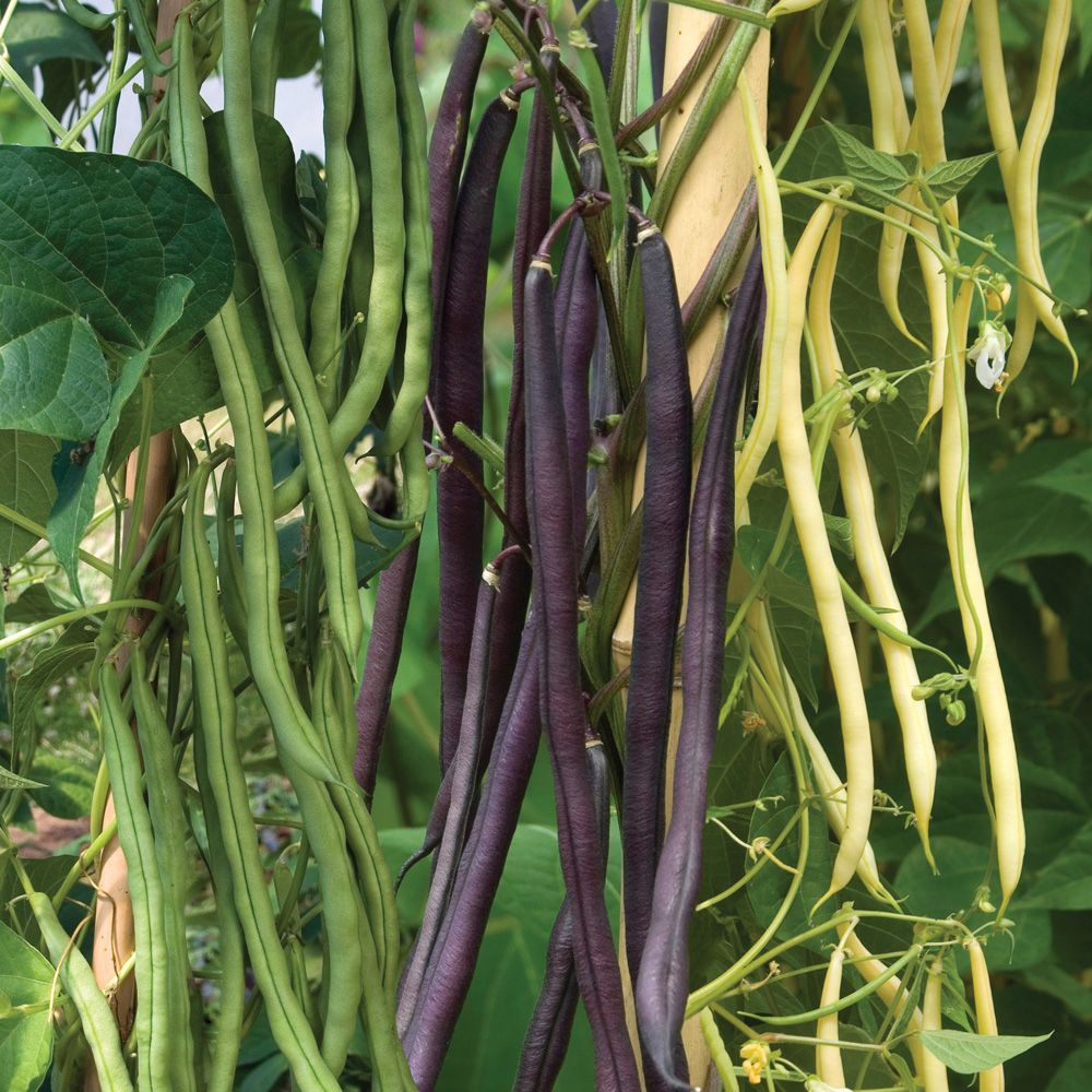 Climbing Bean Mix Seeds Phaseolus Vulgaris A 400 x 300