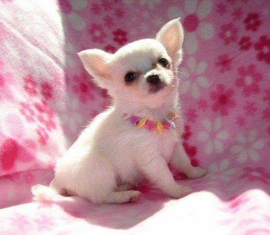 Pin By Deborah Bond On Chihuahua Love Chihuahua Puppies
