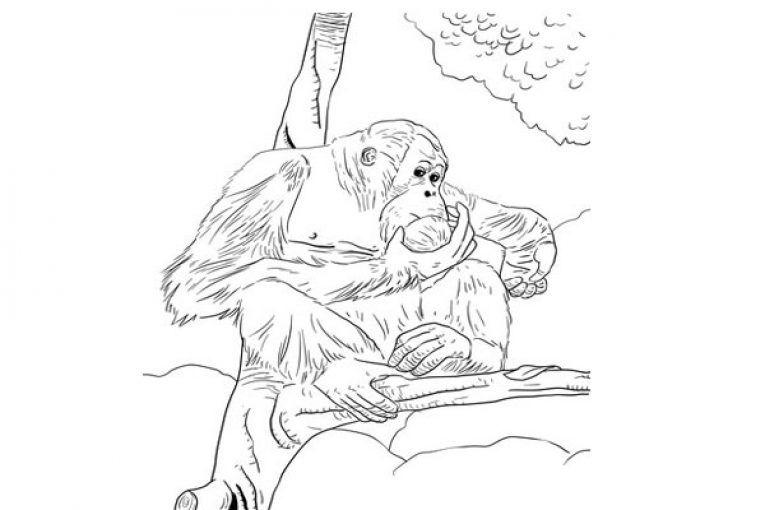 Bornean Orangutan Coloring Page Bornean Orangutan Orangutan