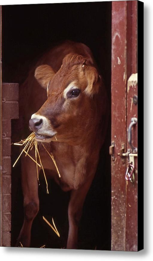 Jersey Cow Canvas Print / Canvas Art By Skip Willits