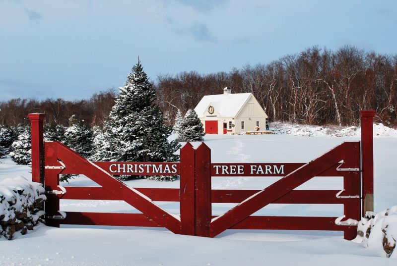 Pick Your Own Christmas Tree In Rhode Island Rhode Island Monthly December 2016 Rhode Island Christmas Tree Farm Christmas Tree Tree Farms