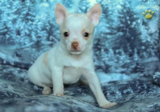 Zeke Chihuahua Puppy For Sale In Watsontown Pa Lancaster