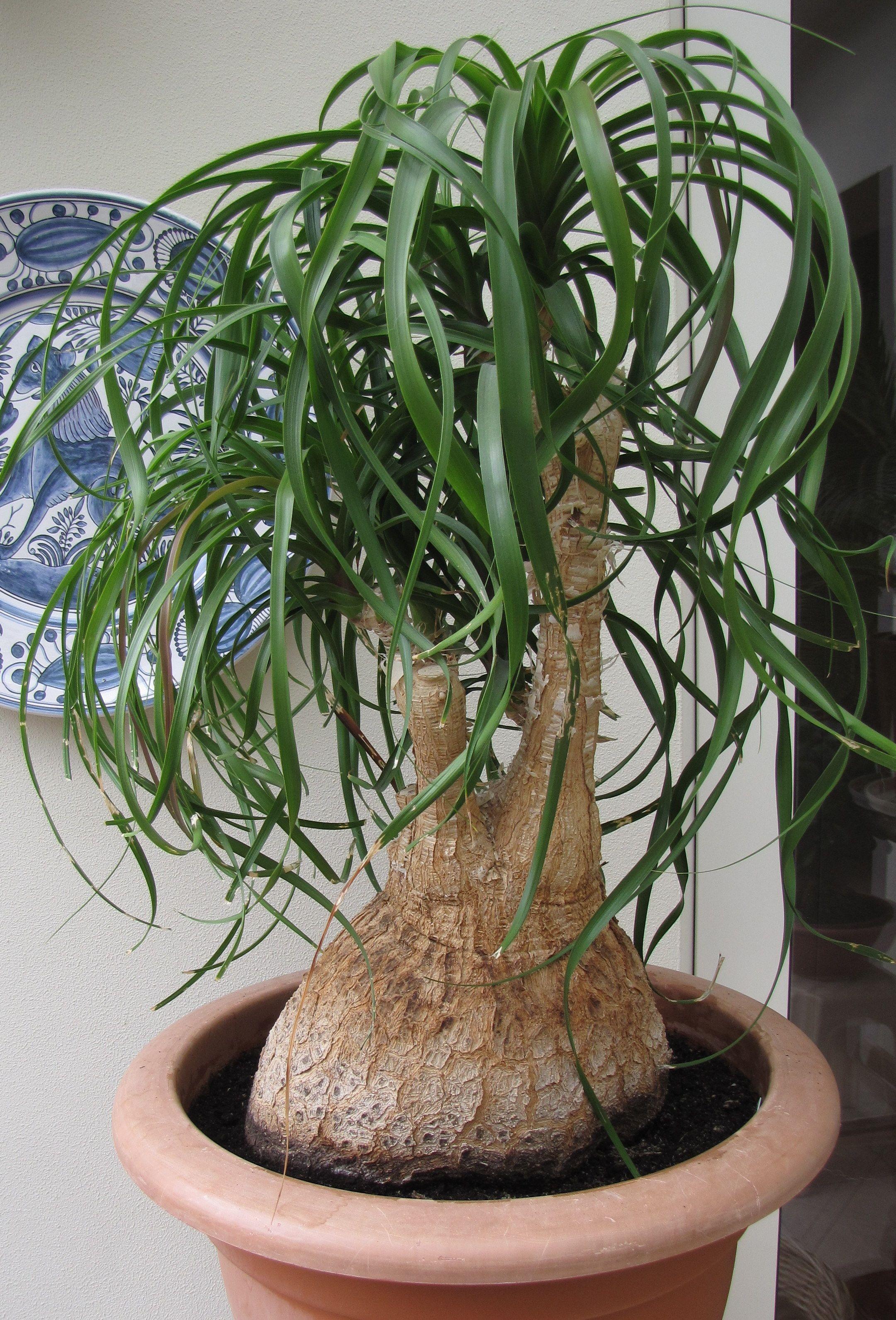 Beaucarnea nolina recurvata plantes caudex for Plante verte en pot pour terrasse