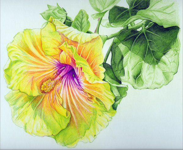 Georgia S Pearl Hibiscus Colored Pencil Drawing By