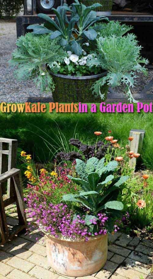 You Can Grow About Five Kale Plants In A 20 Inch Pot Then Harvest It Many Times Picking Up The Young Tender Leaves Again And Gardenpots