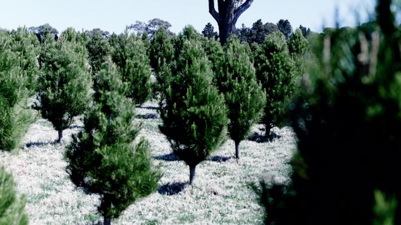 The Best Christmas Tree Farm Near Me In Every State Christmas Tree Farm Cool Christmas Trees Fresh Christmas Trees