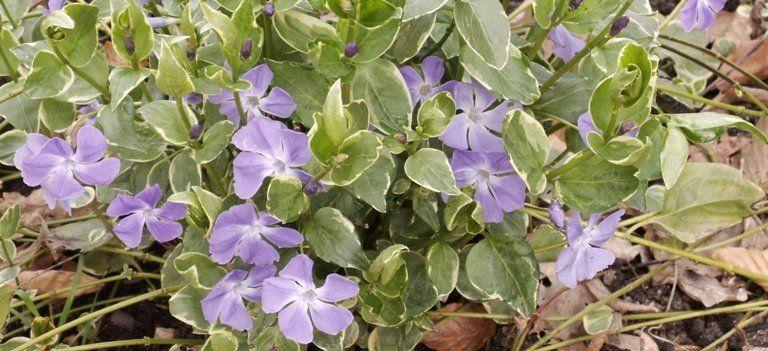 cultiver des plantes couvre sol pour viter le d herbage. Black Bedroom Furniture Sets. Home Design Ideas