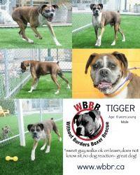 Adopt TIGGER on Boxer dogs, Dogs, Tigger