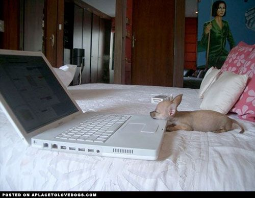 Little Chihuahua Sleepy • APlaceToLoveDogs.com • dog dogs puppy puppies cute doggy doggies adorable funny fun silly