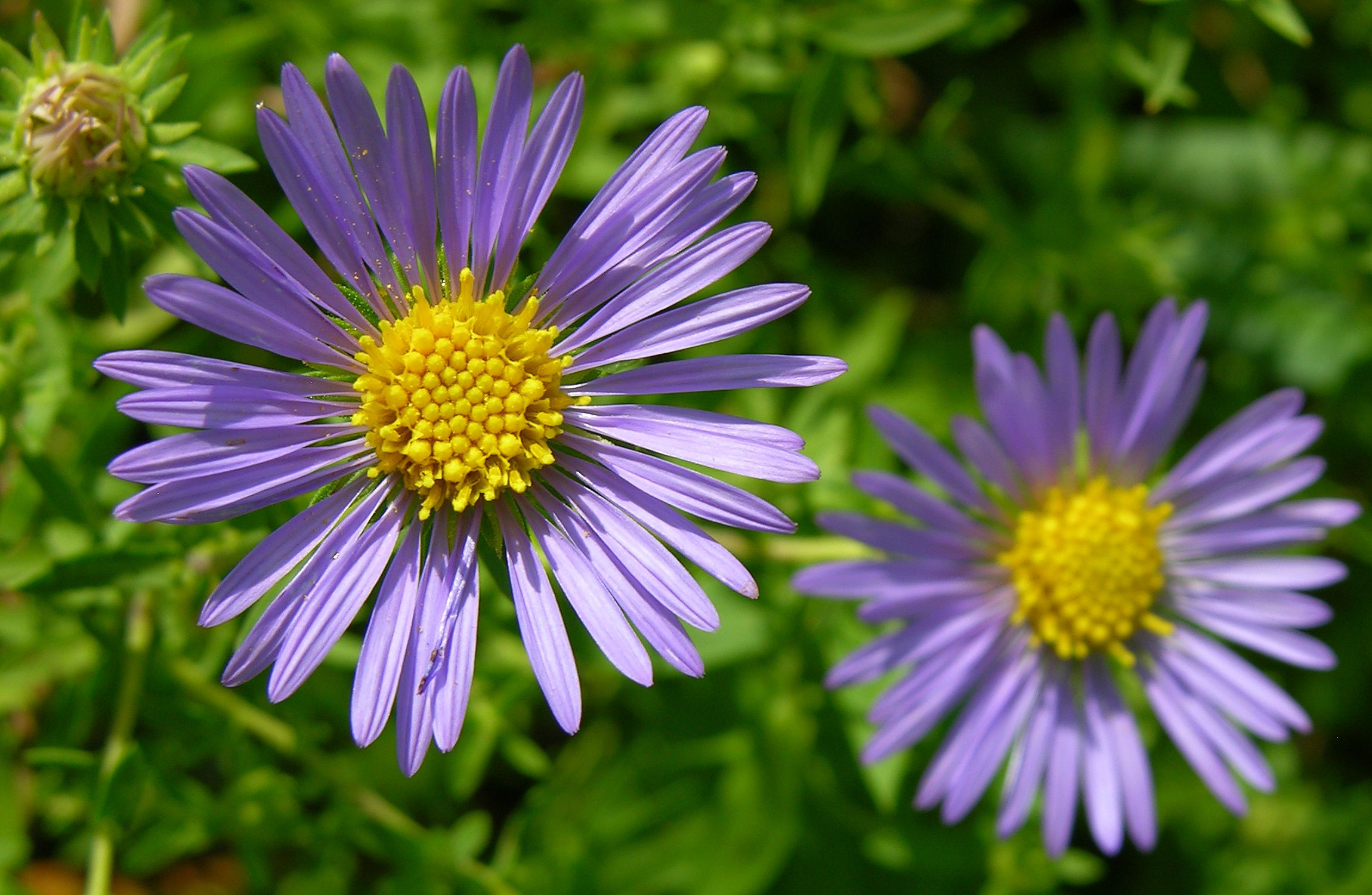 Google Image Result For Http Upload Wikimedia Org Wikipedia Commons A A9 Unidentified Purple And Yellow Types Of Purple Flowers Yellow Flowers Purple Flowers