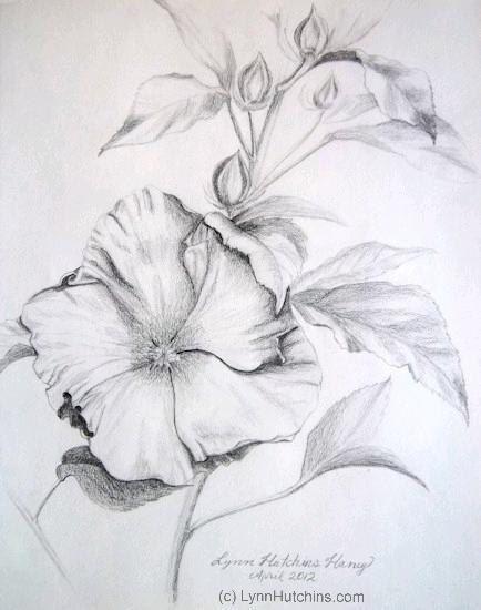 hibiscus original pencil drawing flower floral still life fine art