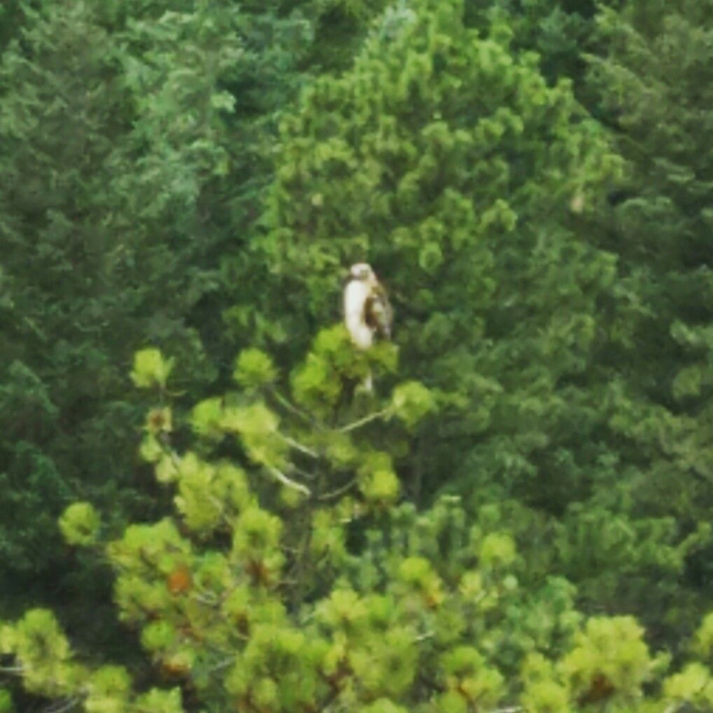 Beautiful Hawk atop the tree!