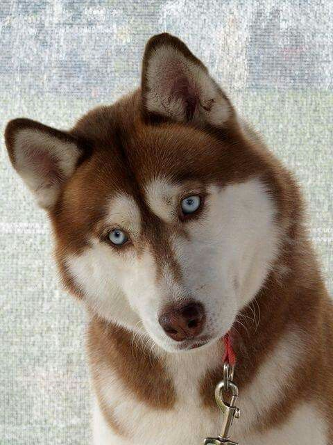 Brown Eyes Black And White Wolly Coat Siberian Husky White